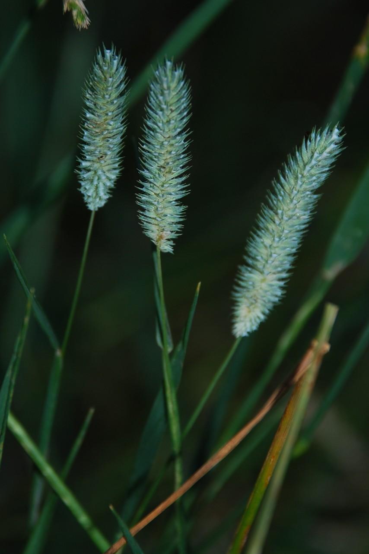 Phleum pratense subsp. pratense 8