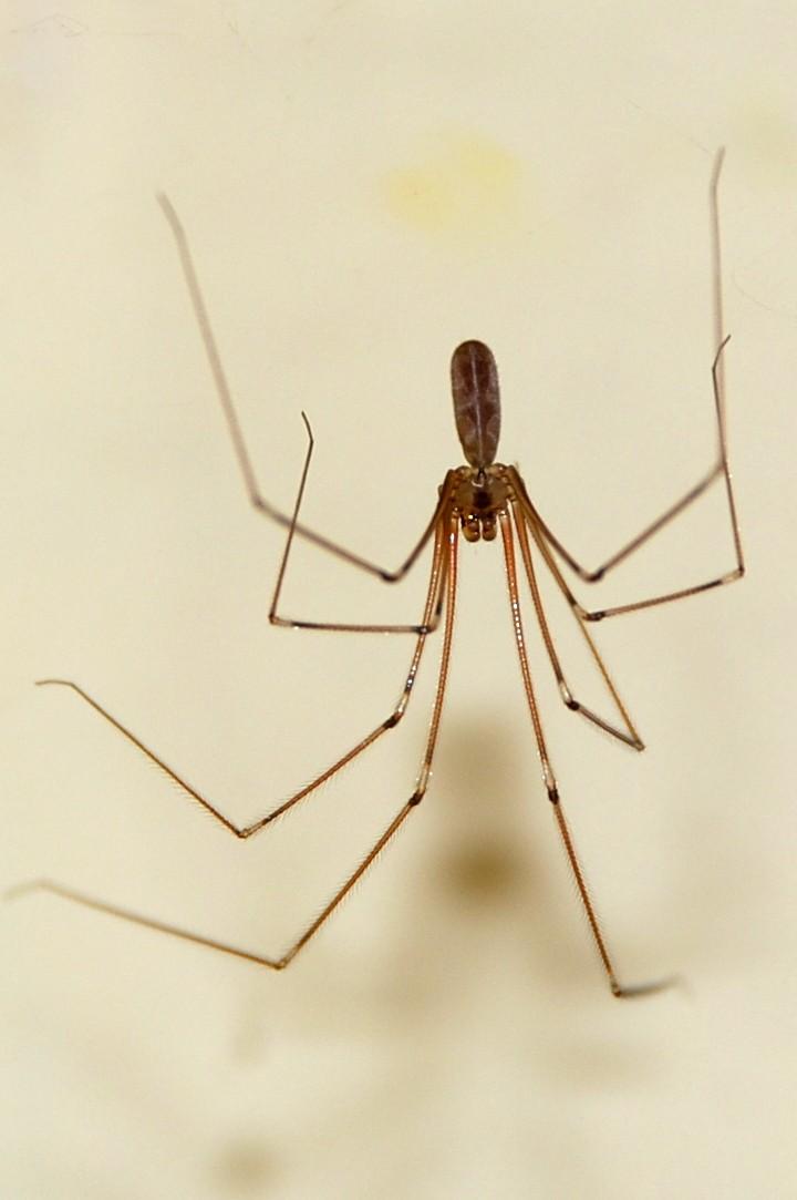 Pholcus phalangioides - Pholcidae