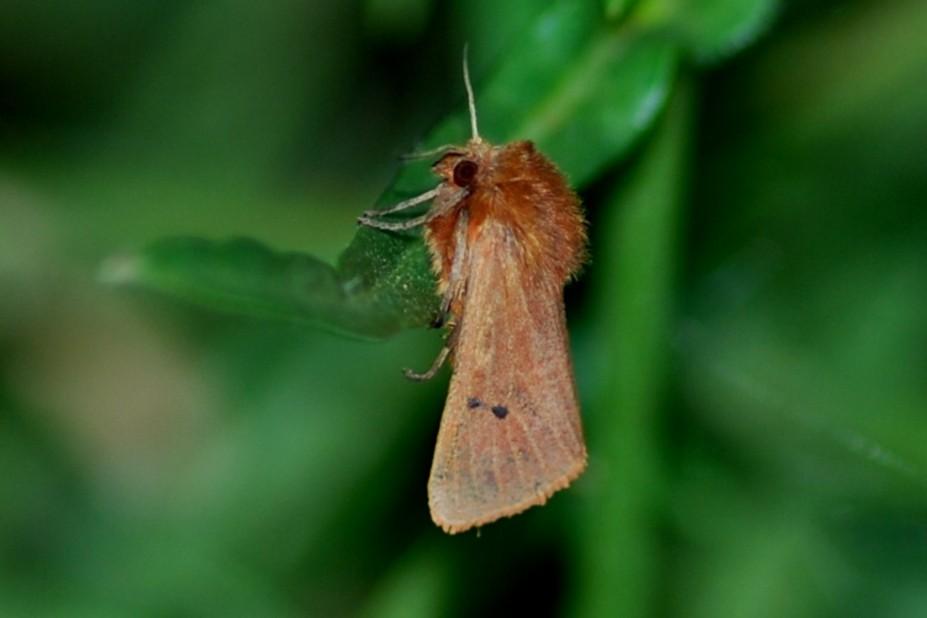 Phragmatobia fuliginosa -  Arctiidae