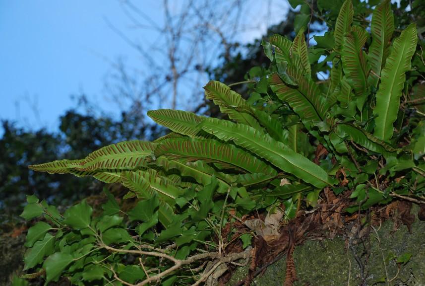 Phyllitis scolopendrium subsp. scolopendrium