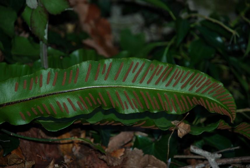 Phyllitis scolopendrium subsp. scolopendrium 5