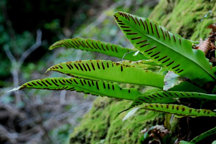 Phyllitis scolopendrium subsp. scolopendrium 6