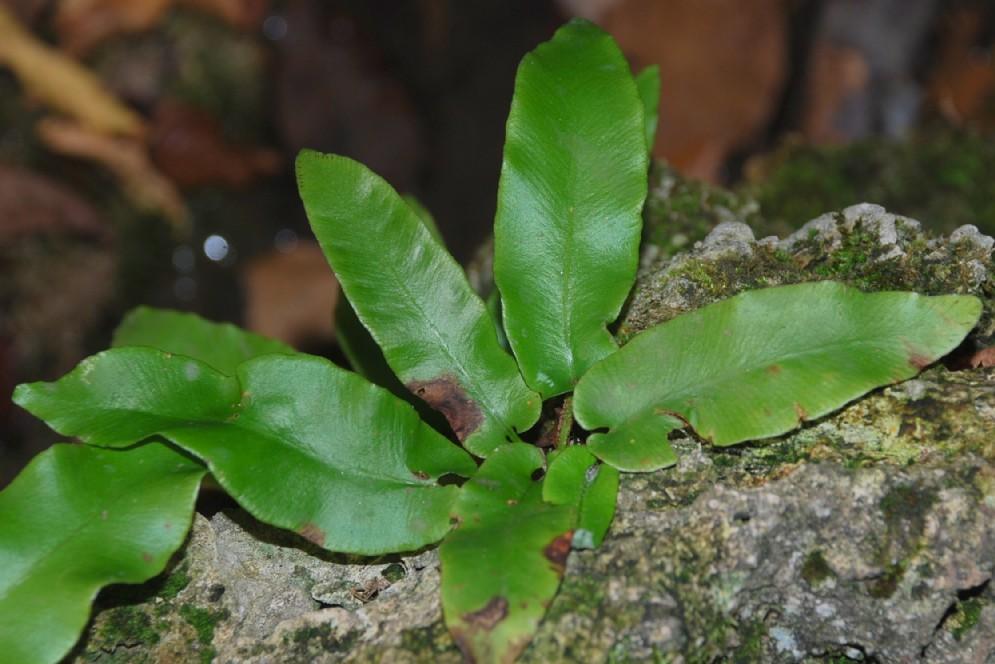 Phyllitis scolopendrium subsp. scolopendrium 8