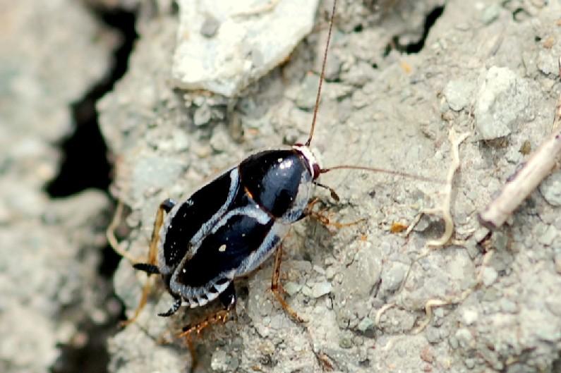 Phyllodromica marginata - Blattellidae