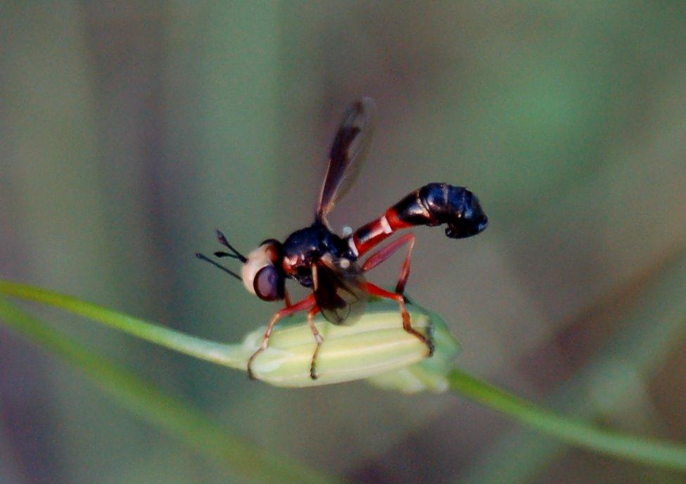 Physocephala sp. - Conopidae