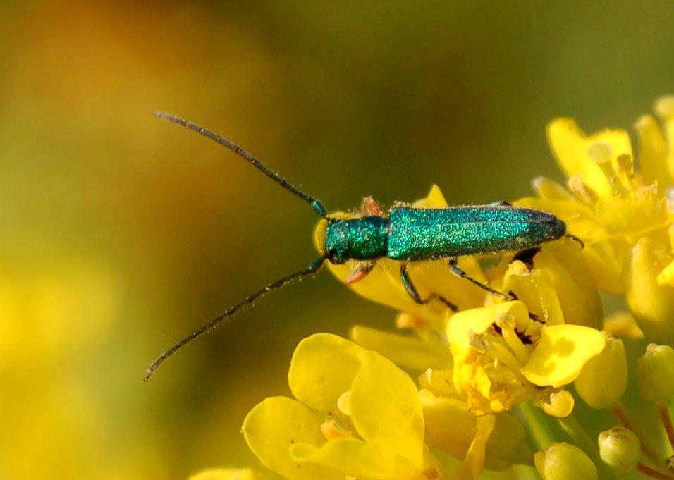Phytoecia caerulea - Cerambycidae