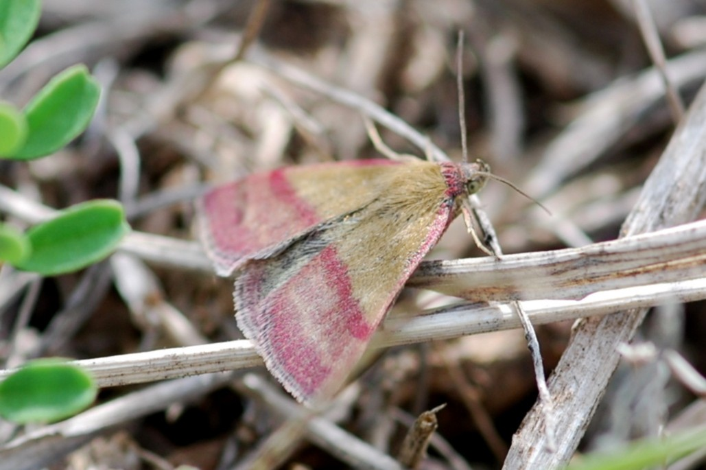 Phytometra viridaria - Noctuidae