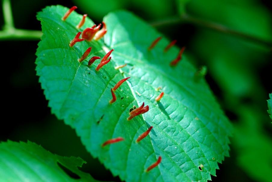 Phytoptus tiliae - Acari, Eriophyoidea