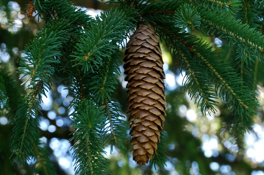 Picea abies 5