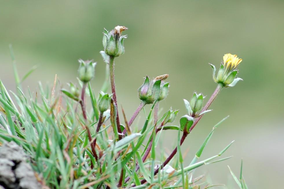 Picris echioides