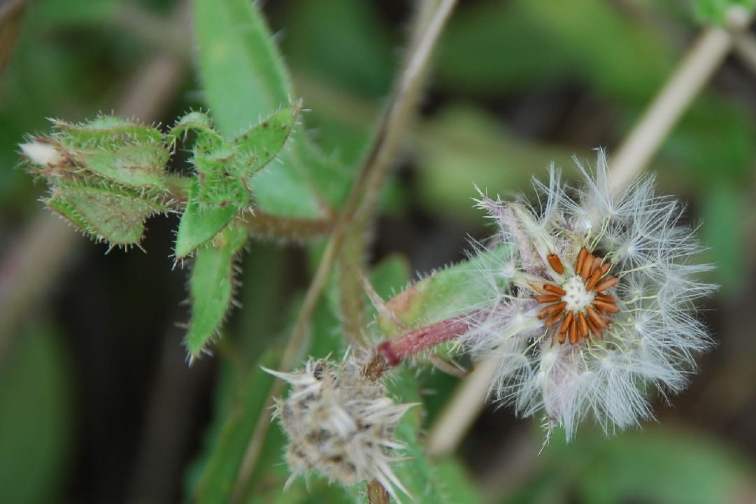 Picris echioides 10