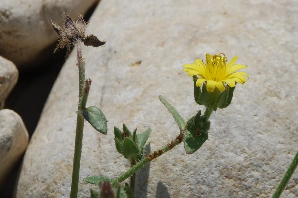 Picris echioides 12