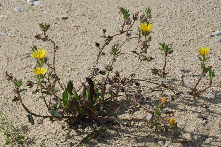 Picris echioides 16