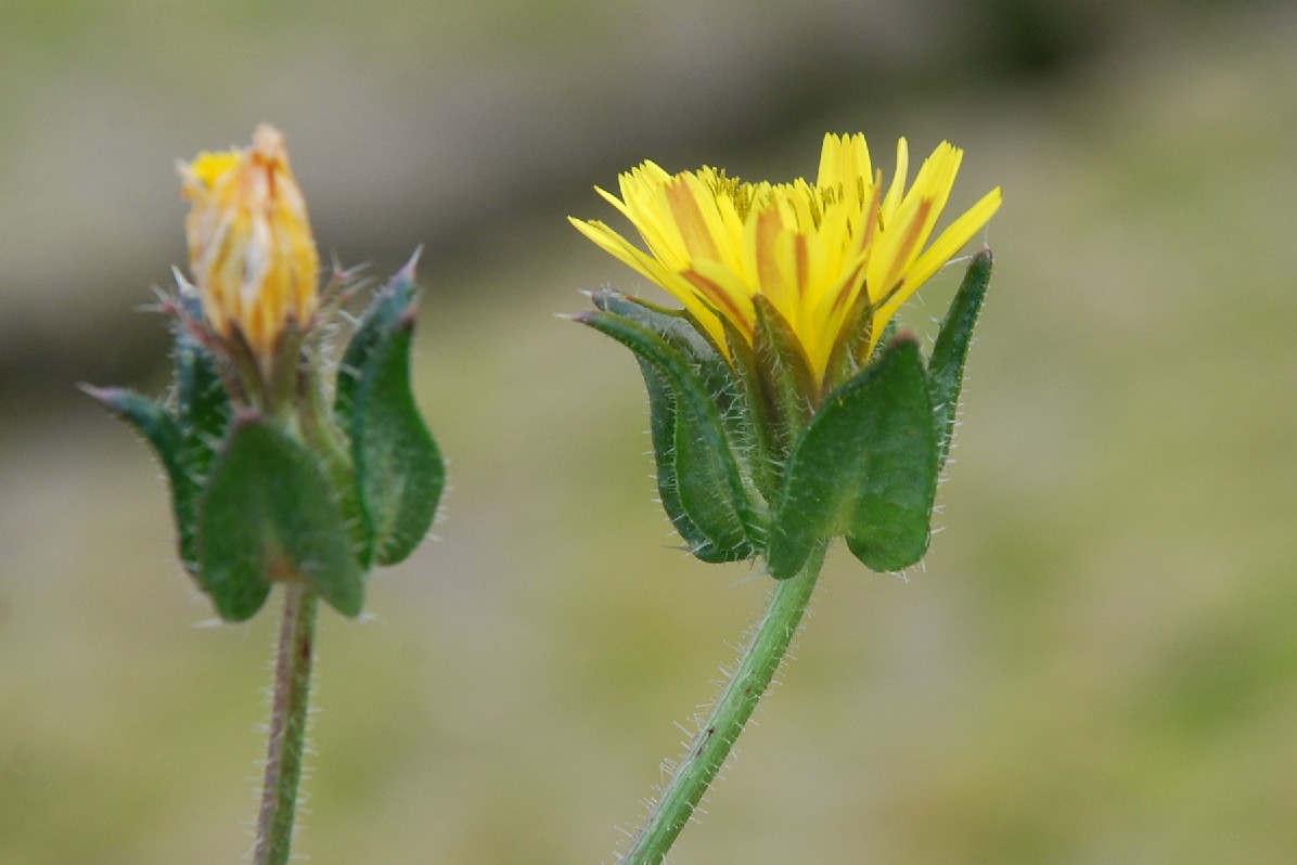Picris echioides 20