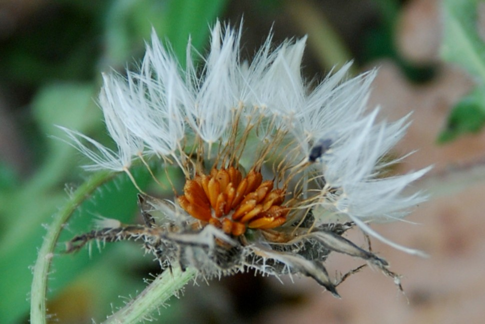 Picris echioides 8