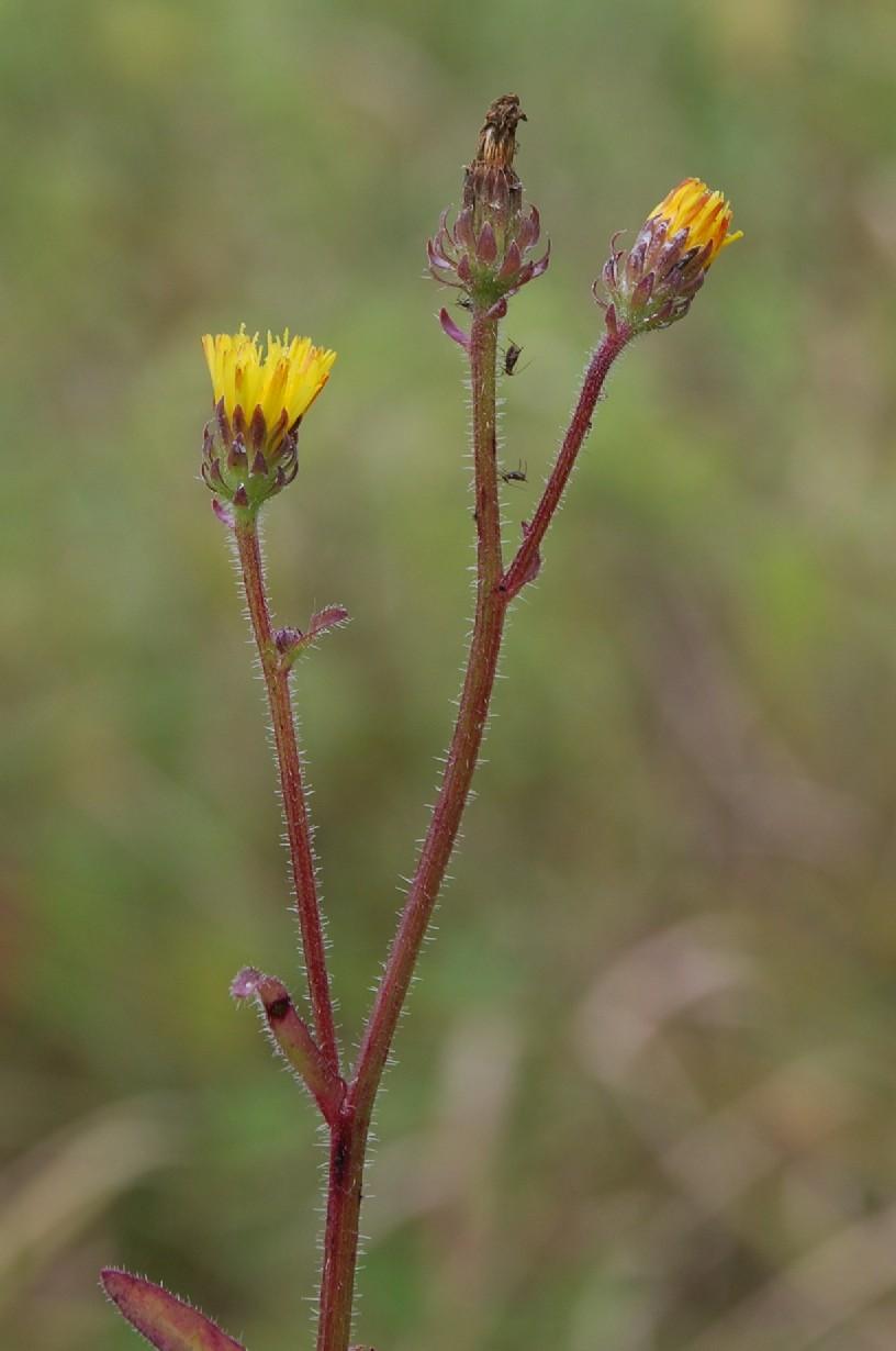 Picris hieracioides subsp. hieraciodes 12