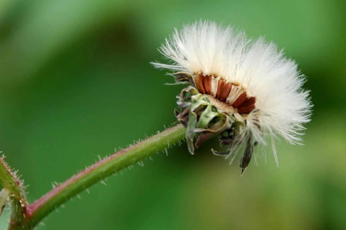 Picris hieracioides subsp. hieraciodes  14