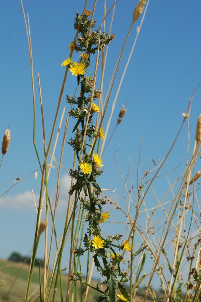 Picris hieracioides subsp. hieraciodes 17