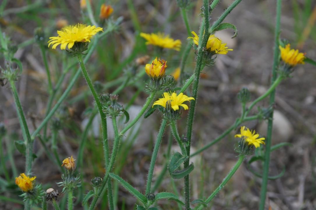 Picris hieracioides subsp. hieraciodes 18