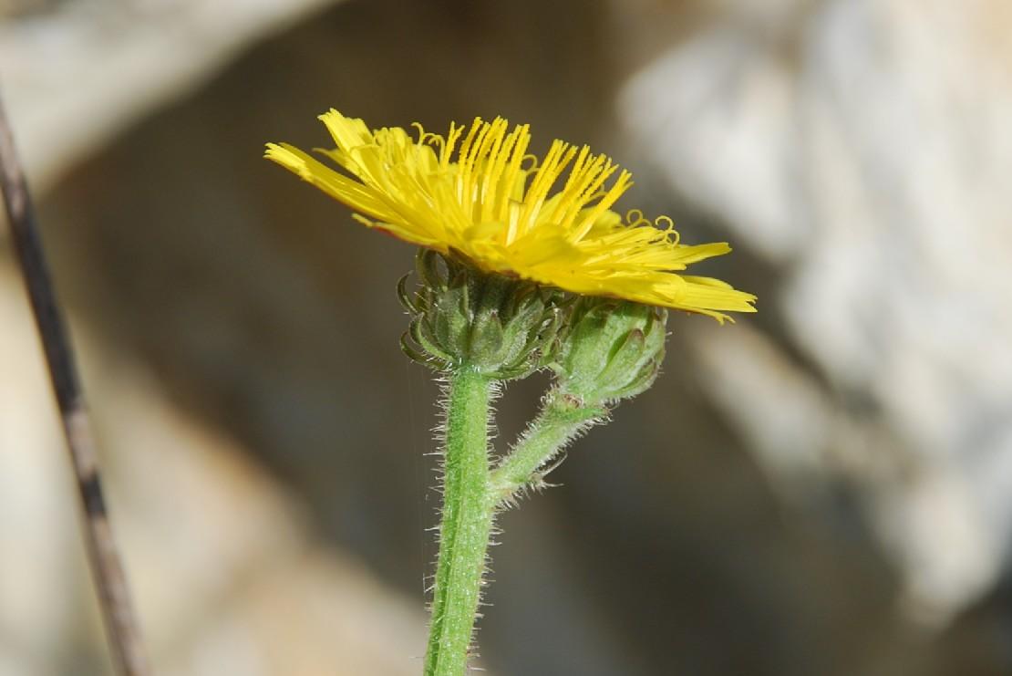 Picris hieracioides subsp. hieraciodes 19