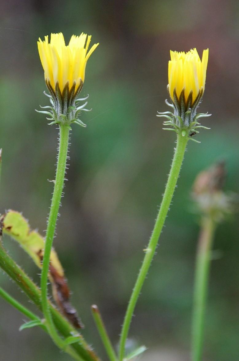 Picris hieracioides subsp. hieraciodes 2