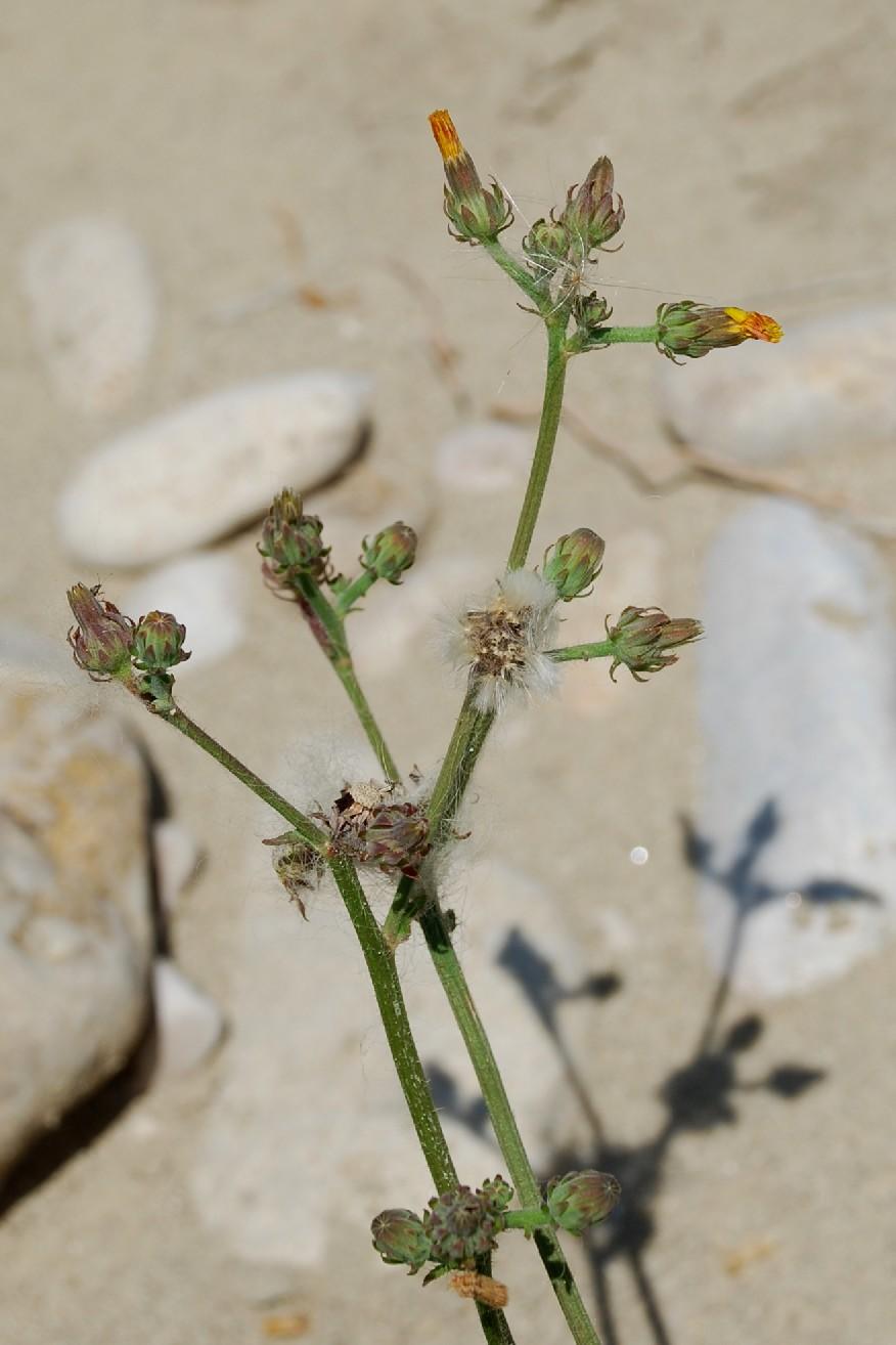 Picris hieracioides subsp. hieraciodes 21