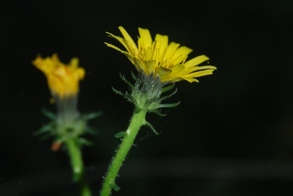 Picris hieracioides subsp. hieraciodes 23