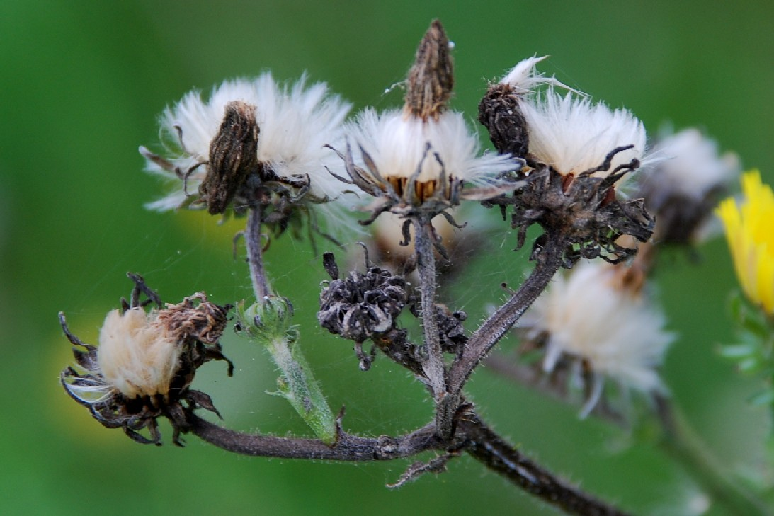Picris hieracioides subsp. hieraciodes 4