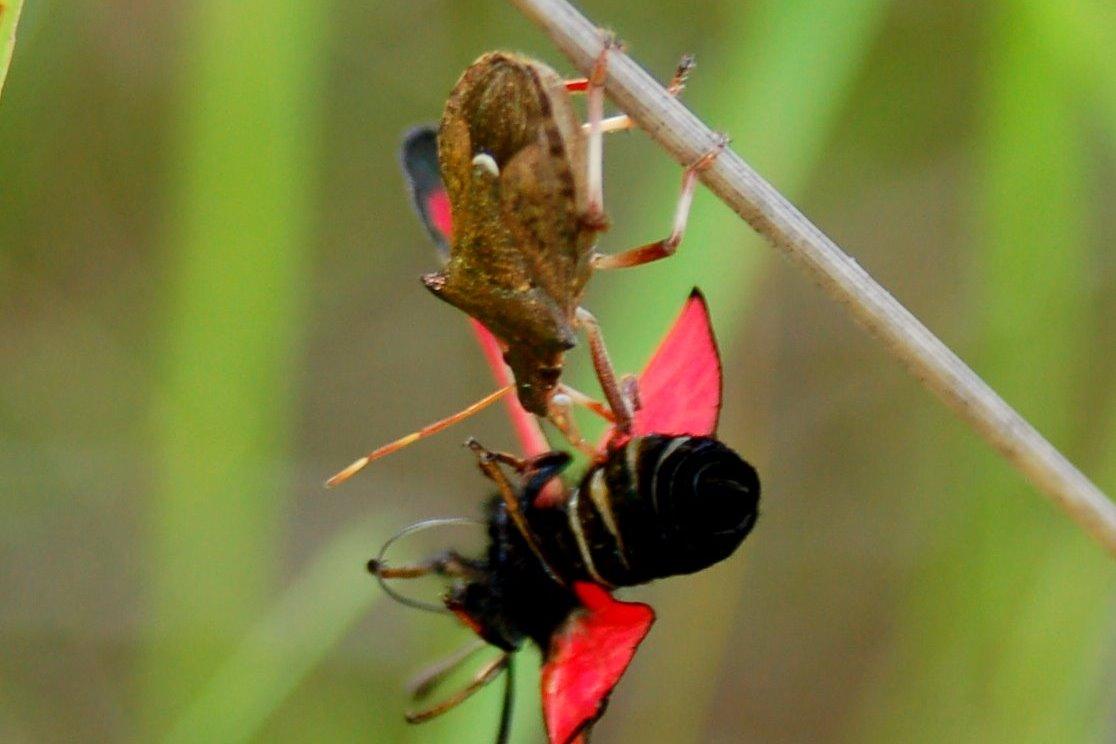 Picromerus bidens - Pentatomidae