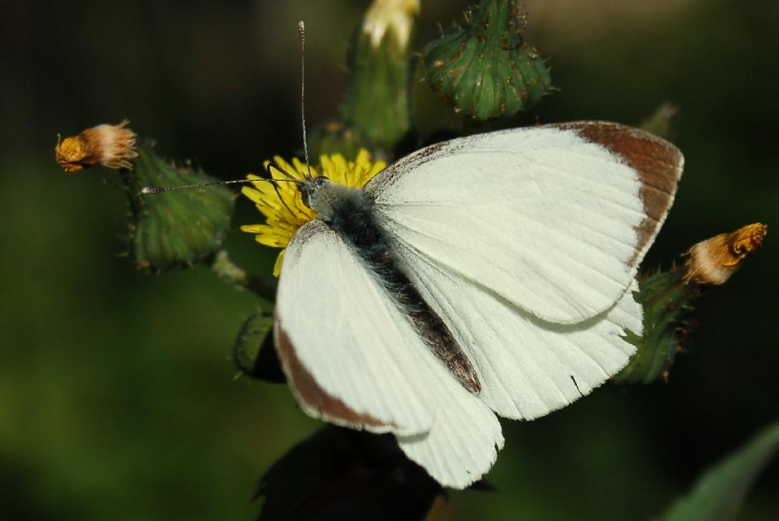 Pieris brassicae - Pieridae