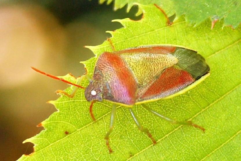 Piezodorus lituratus -  Pentatomidae