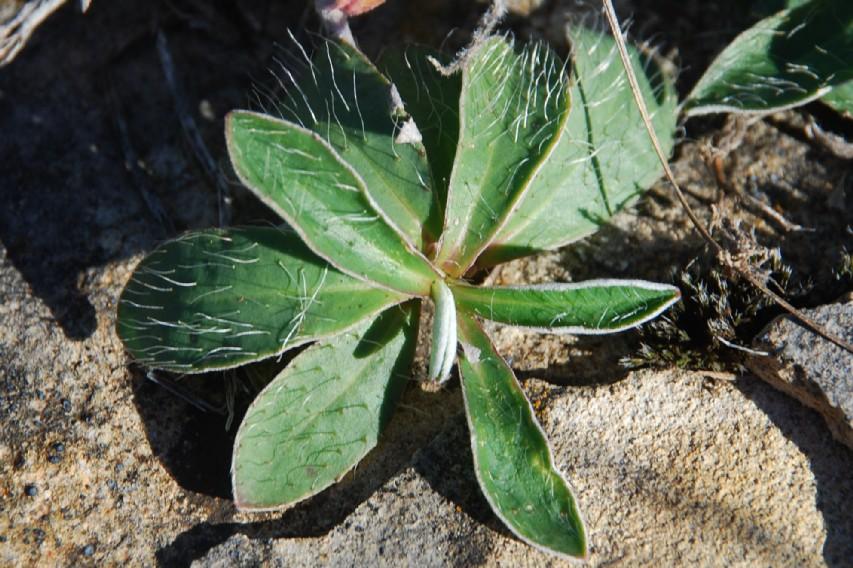 Pilosella sp. 14