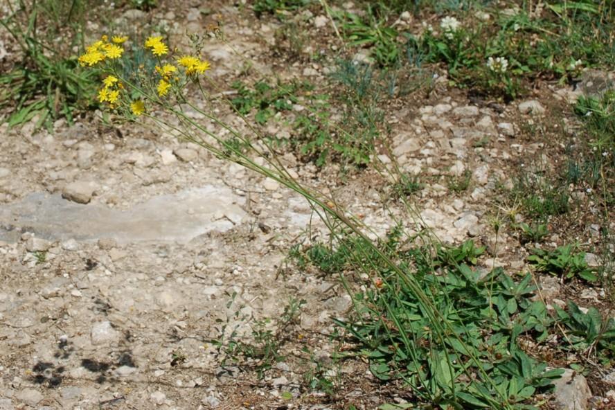 Pilosella sp. 25