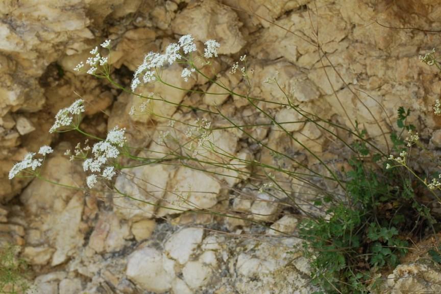 Pimpinella saxigraga subsp. saxifraga