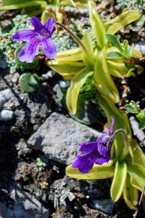 Pinguicula fiorii 3