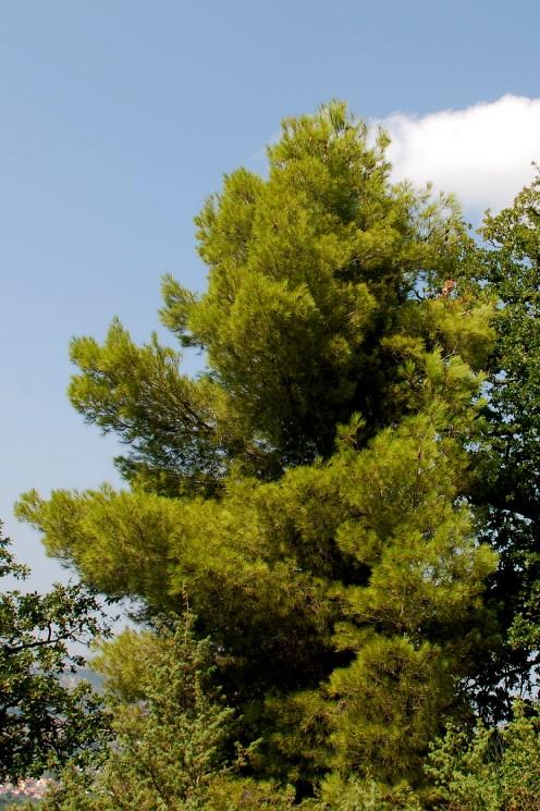 Pinus halepensis subsp. halepensis