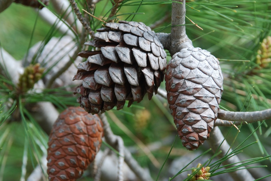 Pinus halepensis subsp. halepensis 4