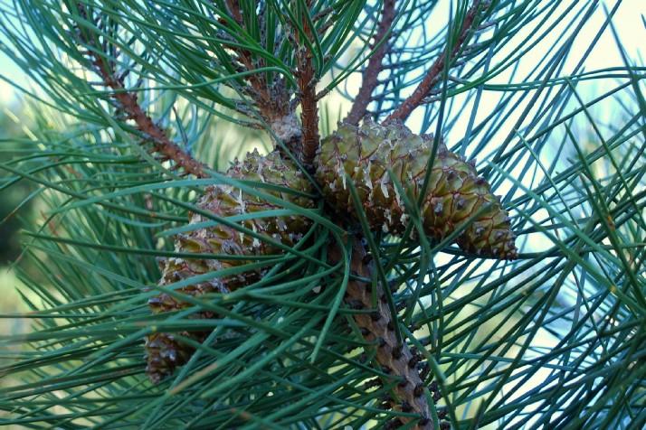 Pinus pinaster subsp. pinaster 10