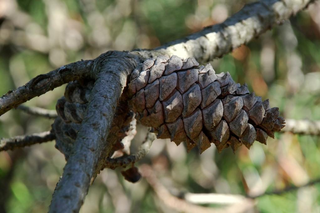 Pinus pinaster subsp. pinaster 11