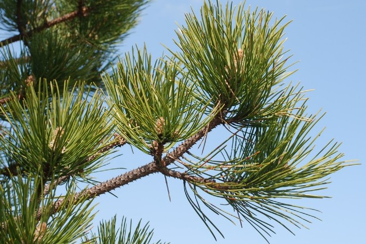 Pinus pinaster subsp. pinaster 6