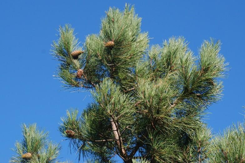 Pinus pinaster subsp. pinaster 7