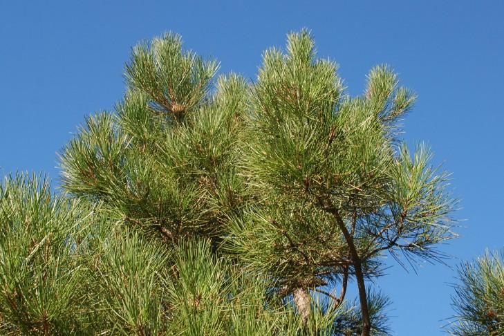 Pinus pinaster subsp. pinaster 8