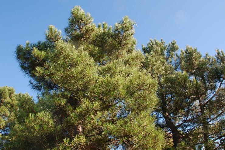 Pinus pinaster subsp. pinaster 9