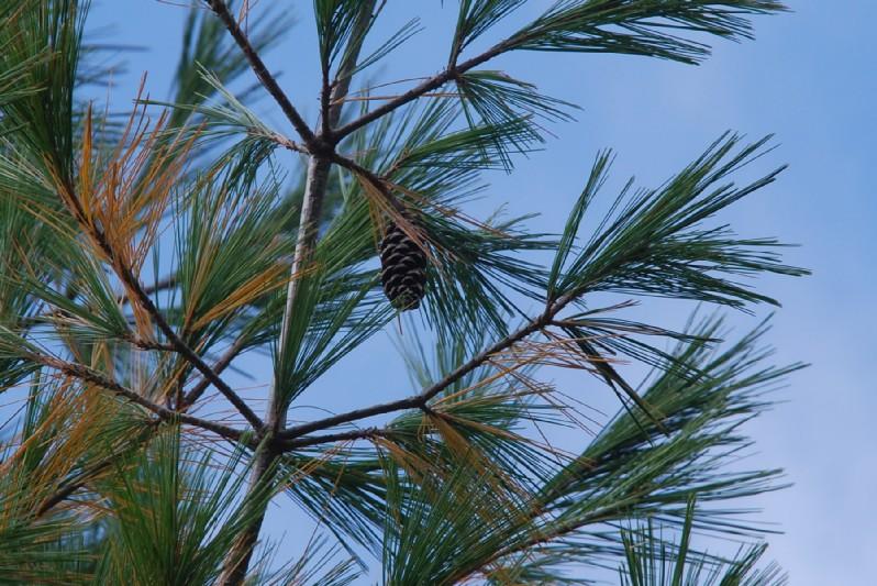 Pinus strobus 10