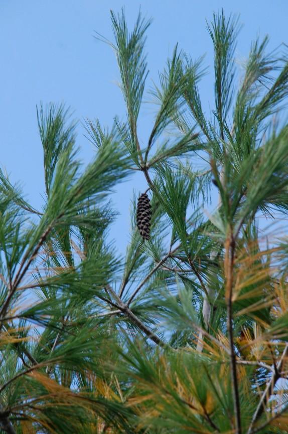 Pinus strobus 11