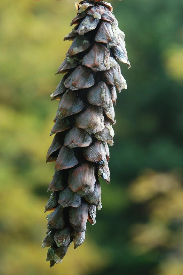 Pinus strobus 12