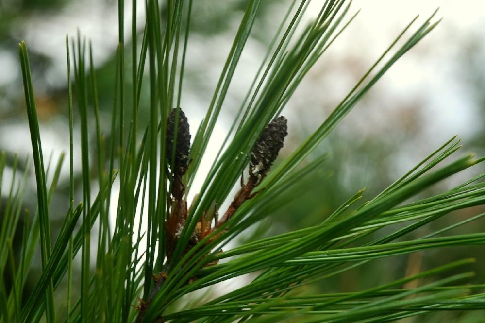 Pinus strobus 3