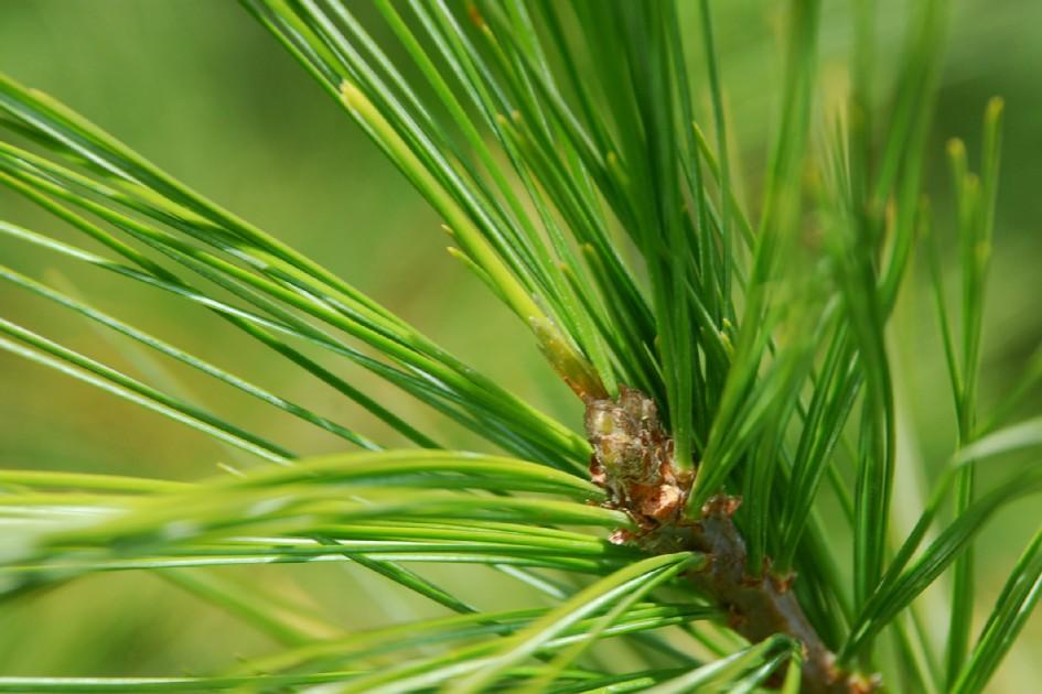 Pinus strobus 4