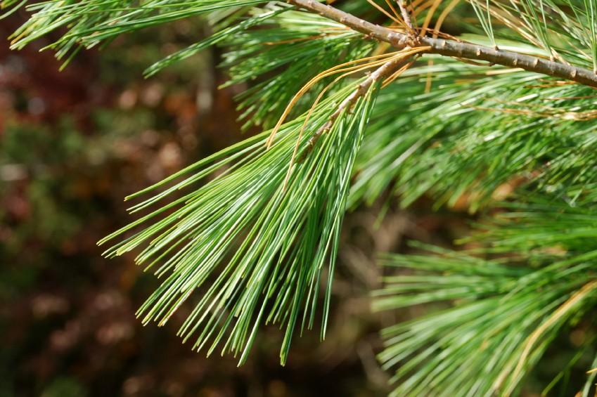Pinus strobus 5