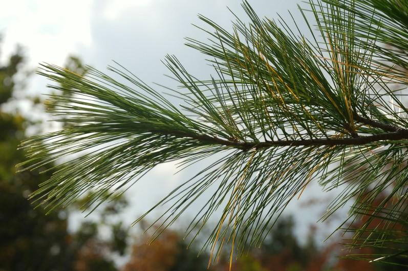 Pinus strobus 6